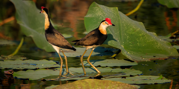 Jacana on Lotus
