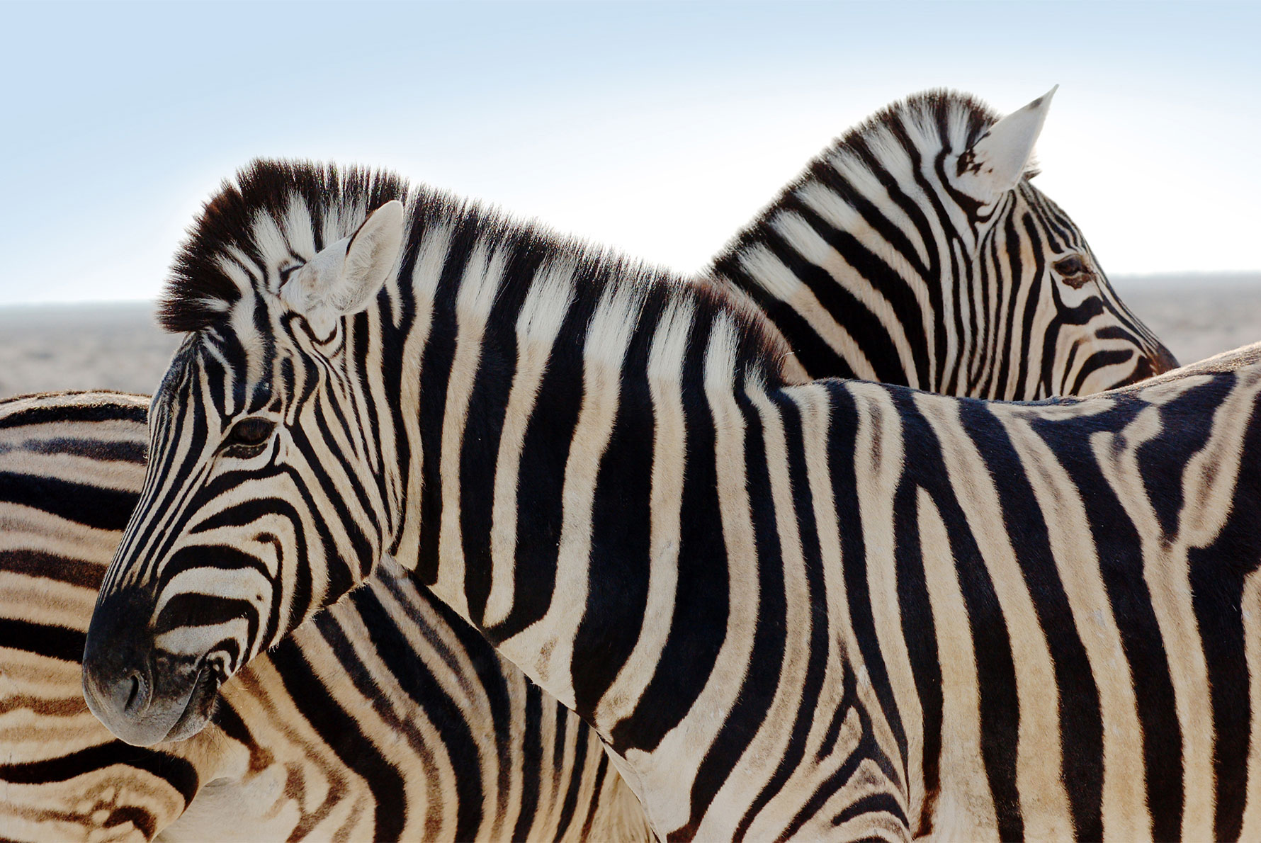 African zebras close up