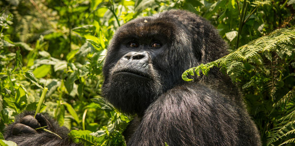 Gorillas & Game Parks Tours and couples holiday experience